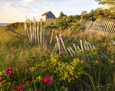 Sand Fence and Roses Jigsaw Puzzle