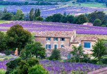 Sault Lavender