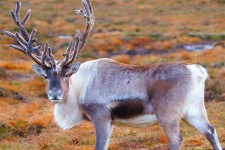Scottish Reindeer Jigsaw Puzzle