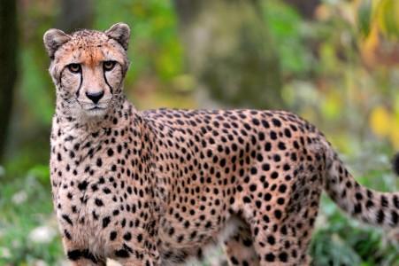Serious Cheetah Jigsaw Puzzle