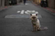 Sheared Cat