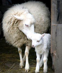 Sheep and Lamb Jigsaw Puzzle