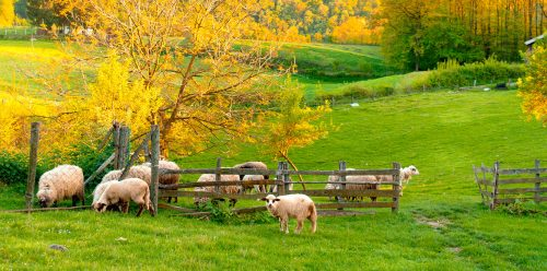 Sheep at the Gate Jigsaw Puzzle