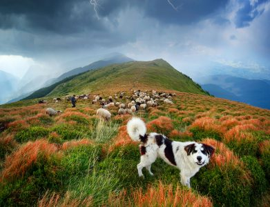 Sheep Herding Jigsaw Puzzle