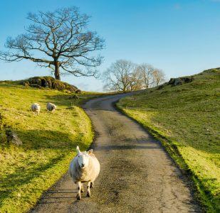Sheep in the Road Jigsaw Puzzle