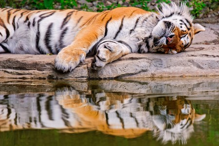 Sleeping Tiger Jigsaw Puzzle