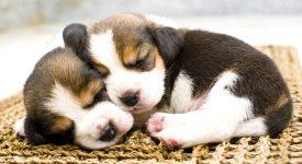 Sleepy Beagles