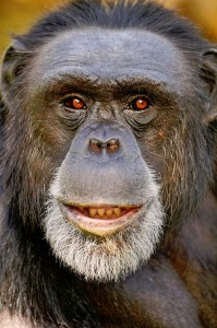 Smiling Chimpanzee Jigsaw Puzzle