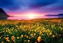 Snaefellsnes Wildflowers