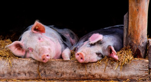Snoozing Pigs Jigsaw Puzzle