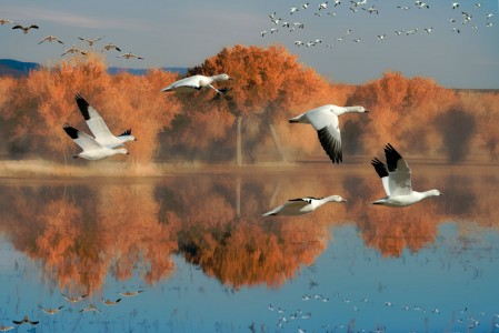 Snow Geese Jigsaw Puzzle