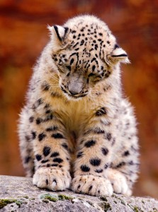 Snow Leopard Cub Jigsaw Puzzle