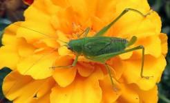 Spanish Grasshopper