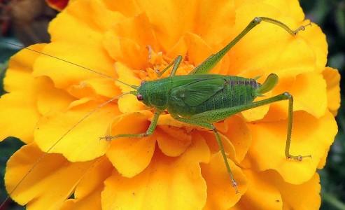 Spanish Grasshopper Jigsaw Puzzle