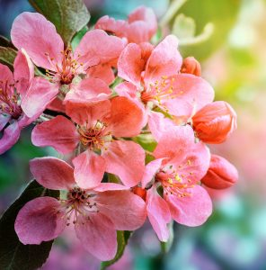 Spring Cherry Blossoms Jigsaw Puzzle