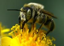 Strange Eyed Bee