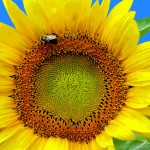 Sunflower and Bumble Bee