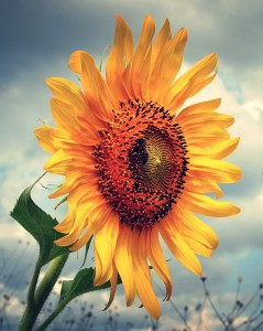 Sunflower Delight Jigsaw Puzzle