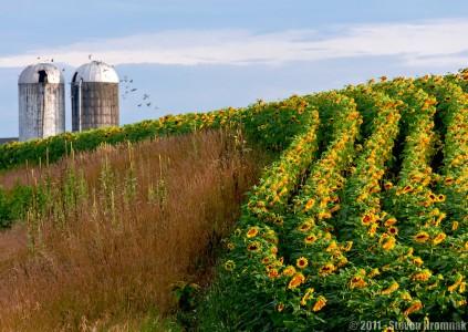 Sunflower Field Jigsaw Puzzle