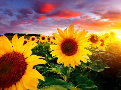 Sunset Sunflowers Jigsaw Puzzle