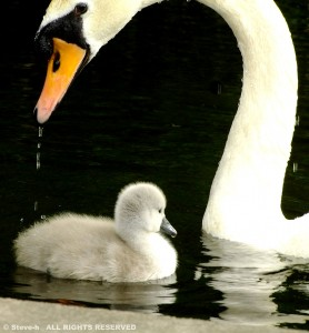 Swan and Chick Jigsaw Puzzle