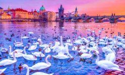 Swans on the Vltava