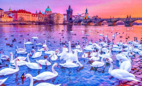 Swans on the Vltava Jigsaw Puzzle