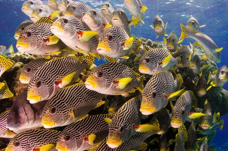 Sweetlips Fish Jigsaw Puzzle