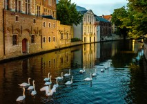 Swimming Swans