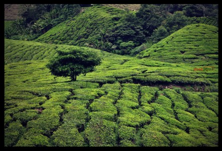 Tea Farm Jigsaw Puzzle