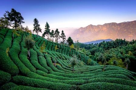 Tea Field Jigsaw Puzzle