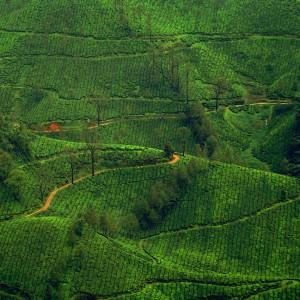 Tea Fields Jigsaw Puzzle
