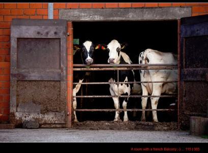 Three Cows Jigsaw Puzzle