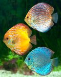 Three Discus