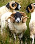 Three Rams