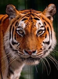 Tigress Jigsaw Puzzle