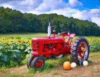 Tractor and Sunflowers