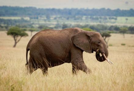 Traveling Elephant Jigsaw Puzzle