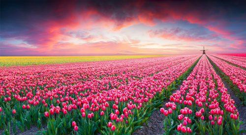Tulip Farm Jigsaw Puzzle