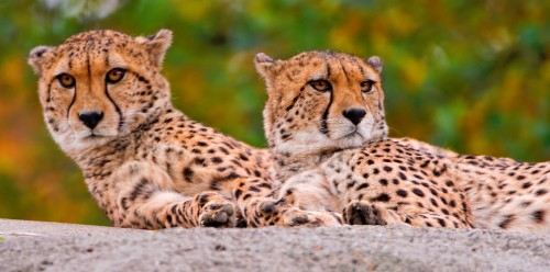 Two Cheetahs Jigsaw Puzzle