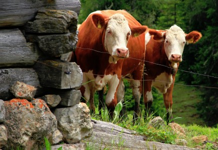 Two Cows Jigsaw Puzzle