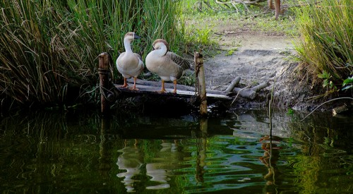 Two Geese Jigsaw Puzzle