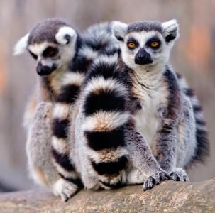 Two Lemurs Jigsaw Puzzle