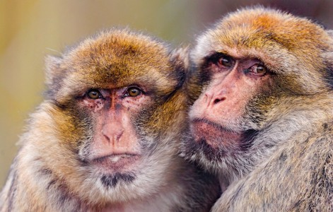 Two Macaques Jigsaw Puzzle