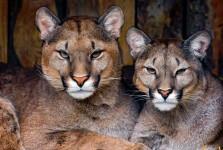 Two Pumas