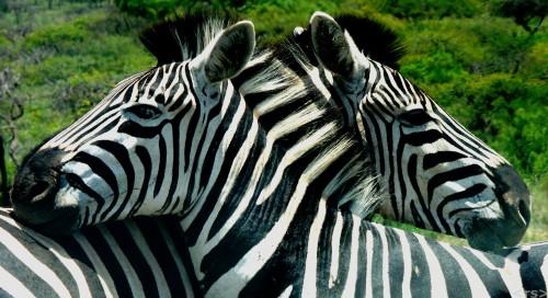 Two Zebras Jigsaw Puzzle
