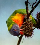 Upside Down Lorikeet