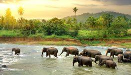 Wading Elephants