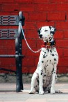 Waiting Dalmation