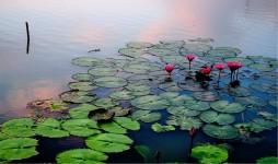 Waterlilies at Sunset